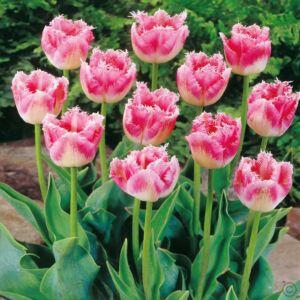 Rojtos szirmú tulipán 'Fancy Frills'
