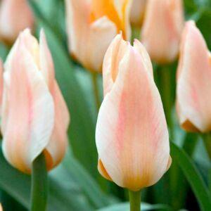Greigii-tulipán 'Für Elise'