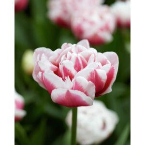Teltvirágú tulipán 'Gerbrandt Kieft'