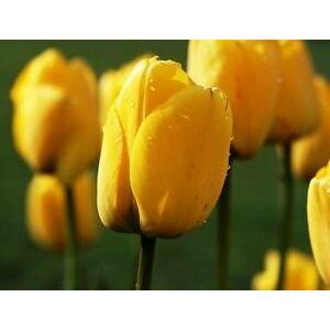 Darwin-hybrid tulipán 'Golden Apeldoorn'