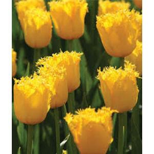 Rojtos szirmú tulipán 'Hamilton'