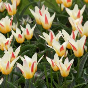Kaufmanniana tulipán 'Johann Strauss'