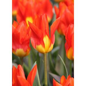 Fosteriana tulipán 'Juan'