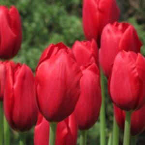 Tulipa 'Kingsblood' - Egyszerű virágú tulipán