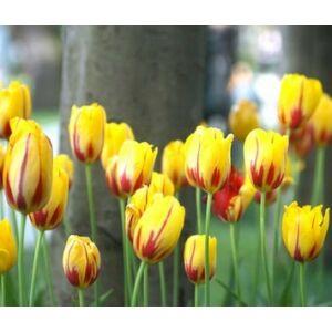 Tulipa 'La Courtine' - Egyszerű virágú tulipán
