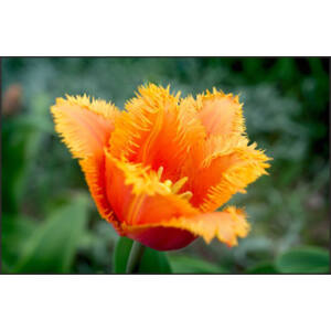 Rojtos szirmú tulipán 'Lambada'