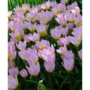 Tulipa bakeri 'Lilac Wonder' - Botanikai tulipán