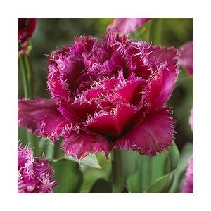 Rojtos szirmú tulipán 'Mascotte'