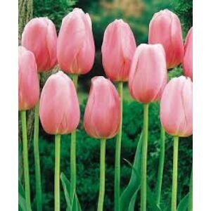 Tulipa 'Menton' - Egyszerű virágú tulipán