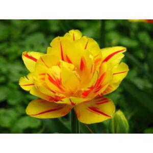 Teltvirágú tulipán 'Monsella'