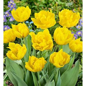 Teltvirágú tulipán 'Monte Carlo'