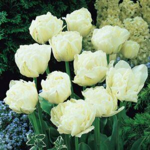 Teltvirágú tulipán 'Mount Tacoma'