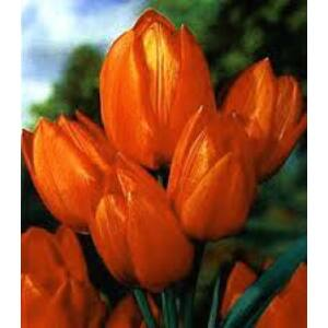 Tulipa 'Orange Bouquet' - Csokros tulipán