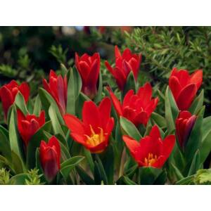 Fosteriana tulipán 'Princeps'