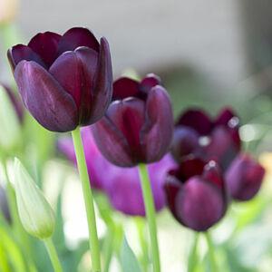Tulipa 'Queen of Night' - Egyszerű virágú tulipán