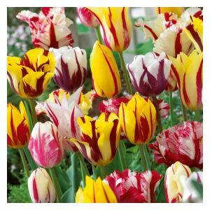 Rembrandt tulipán színkeverék