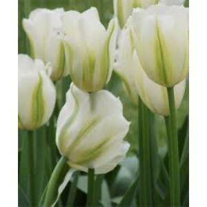 Viridiflora tulipán 'Spring Green'