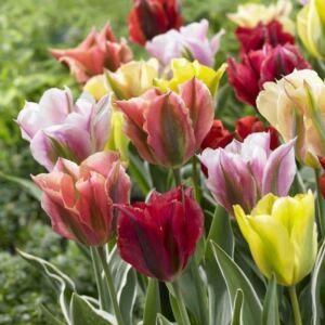 Viridiflora tulipán színkeverék