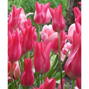 Liliomvirágú tulipán 'Marietta'