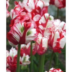 Papagájvirágú tulipán 'Estella Rijnveld'