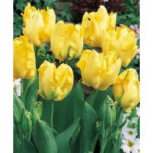 Papagájvirágú tulipán 'Texas Gold'