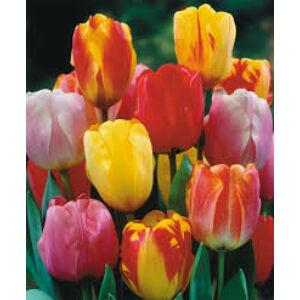 Darwin-hybrid tulipán színkeverék