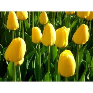 Triumph-típusú tulipán 'Yokohama'