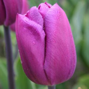 Triumph-típusú tulipán 'Attila'