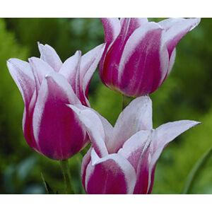 Liliomvirágú tulipán 'Claudia'