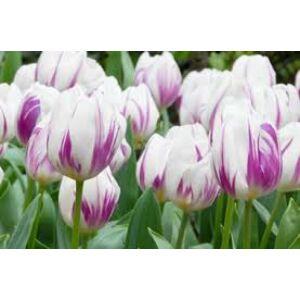 Triumph-típusú tulipán 'Flaming Flag'