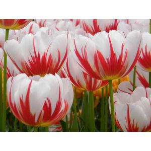Triumph-típusú tulipán 'Happy Generation'