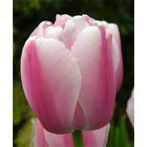 Darwin-hybrid tulipán 'Ollioules'