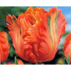 Papagájvirágú tulipán 'Orange Favorit'