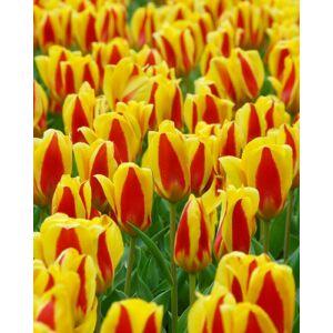 Kaufmanniana tulipán 'Stresa'