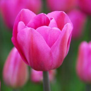Triumph-típusú tulipán 'Don Quichotte'