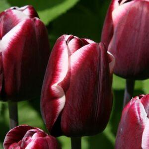 Triumph-típusú tulipán 'Fontainebleau'