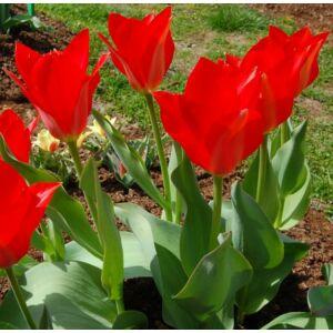 Tulipa eichleri  - Botanikai tulipán