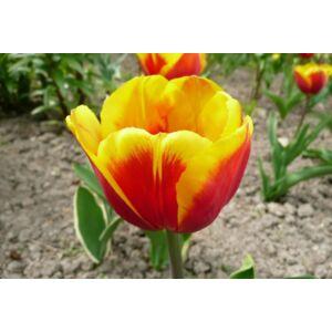 Triumph-típusú tulipán 'Kees Nelis'