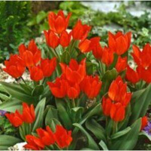 Tulipa praestans - Csokros tulipán