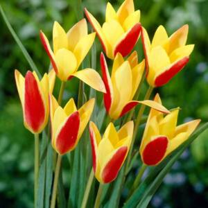 Tulipa clusiana var. chrysantha - Botanikai tulipán