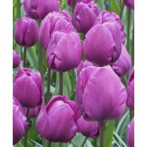 Triumph-típusú tulipán 'Negrita'