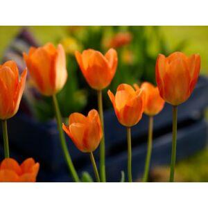 Fosteriana tulipán 'Orange Emperor'