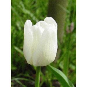 Triumph-típusú tulipán 'White Dream'