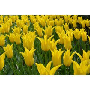 Liliomvirágú tulipán 'West Point'