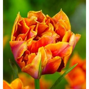 Teltvirágú tulipán 'Willem van Oranje'