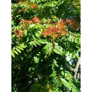 Ailanthus altissima 'Bíborsárkány' - 'Bíborsárkány' mirigyes bálványfa