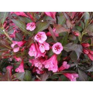 Weigela 'Alexandra'® - Bordó levelű rózsalonc