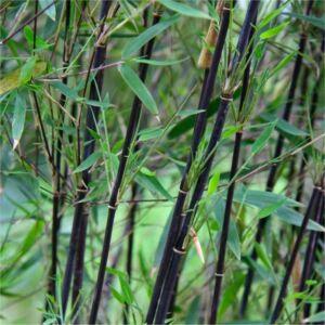 Fargesia nitida 'Black Pearl' – Bambusz