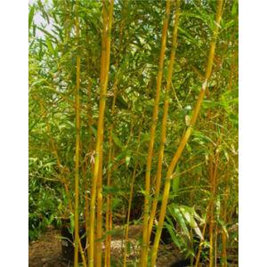 Phyllostachys aurea – Sárga bambusz