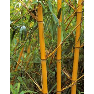 Phyllostachys aureosulcata 'Aureocaulis' – Aranyszárú bambusz